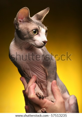 little fun sphynx  cat. studio shot.