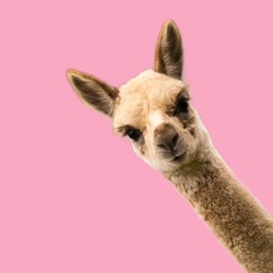 Little funny alpaca on pink background.