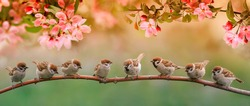 little funny birds and birds chicks sit on the branches of an apple tree with pink flowers in a sunny spring garden