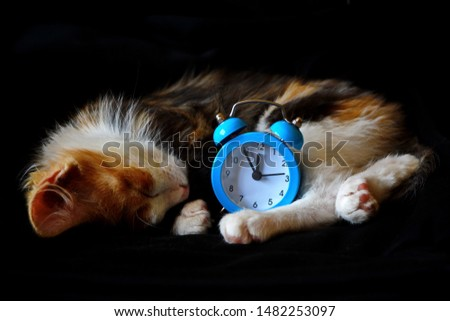 Little funny cute mottled kitten with spotted muzzle and red ear putting his head on his paw sleeping curled up around alarm clock on the dial of which hands show midnight on black background