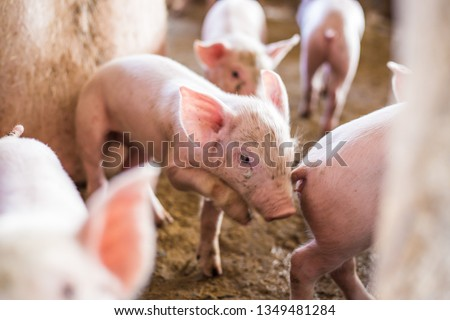 Little funny piglet in organic rural farm agricultural industry #1349481284