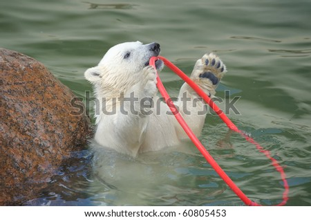 Little funny white polar bear playing in water