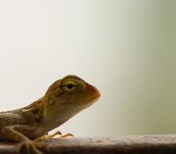 Little Garden Lizard With Aggressive Look