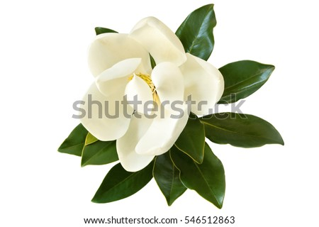 Little Gem magnolia.  Dwarf variety of Magnolia Grandiflora. Also called Evergreen, Bull Bay, Laurel and Loblolly. Close up image of flower with leaves isolated on white background. - Shutterstock ID 546512863