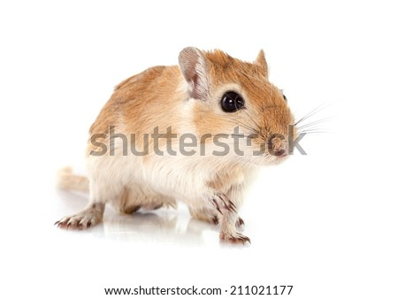little gerbil in front of white background