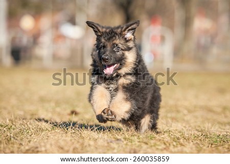 Little german shepherd puppy playing in the park