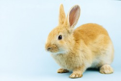 little ginger rabbit sits on a pastel blue background with copy space. Easter bunny close up. Concept for religious spring holiday