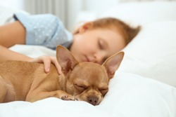 Little girl with her Chihuahua dog in bed. Childhood pet