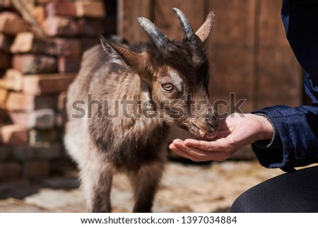 Little goat eats out of hand on the farm #1397034884