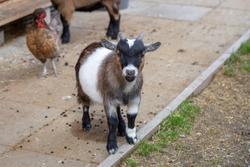 Little goat in petting zoo