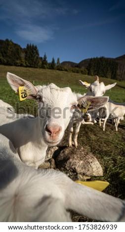 Little goat looks us strangely next to Bohinj Lake in Slovenia