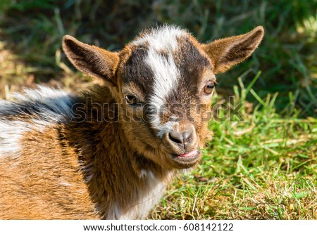 Little goat portrait