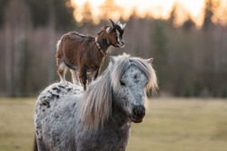 Little goat riding appaloosa pony. Friendship of pony and goat. Funny animals.