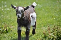 Little goat running around in the farm