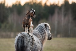 Little goat stands on the back of a pony. Friendship of pony and goat. Funny animals.