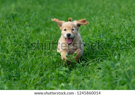 Free Photos Little Puppy Golden Retriever Running Playing In The