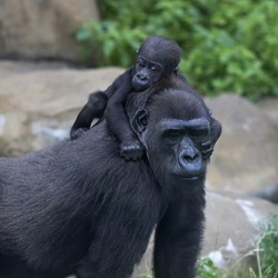 Little gorilla baby is riding on his mother. Monkey family portrait of the great ape. The most powerful and biggest primate of the wild world.