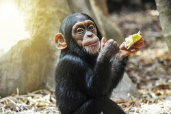 Little gourmet. Adorable baby chimpanzee enjoying his meal and showing thumbs up.