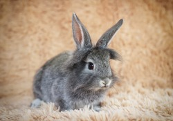 Little gray bunny. Grey little rabbit.