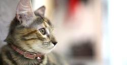 little gray cat posing for the camera. little kitten gray playing