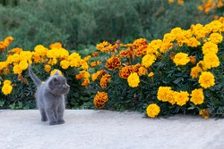 Little gray kitten of one month old in the garden. Cat and green grass and flowers marigold