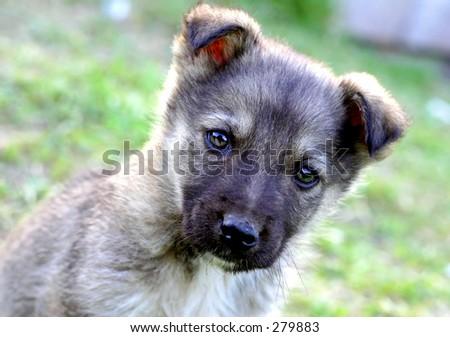 Little gray puppy face