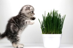 little gray striped kitten and a pot of green wheat grass. Scottish fold cat. Cat health concept.