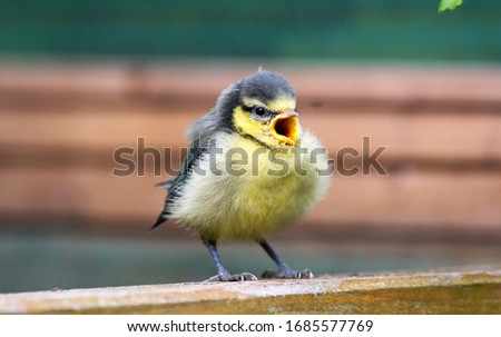 Little great tit bird screaming for mother Сток-фото ©