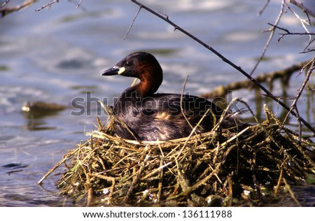 Little Grebe at nest animals birds with wings wild birds abnormal world