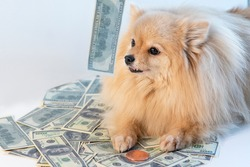 Little greedy dog and cash, Pomeranian Spitz puppy lying on money, bills, banknotes of one hundred US dollars and golden coin. Savings, investments concept. Greed for money, commercialism.