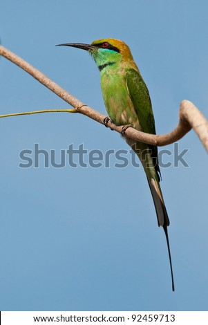 Little Green bee-eater perched on a branch looking out for bees.
