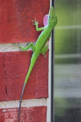 Little green gecko chameleon lizard throat puffing on red brick wall to lure  in females for breeding.  Male anole puff his throat out conspicuously as he engages in mating dances.