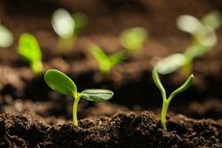 Little green seedlings growing in soil, closeup