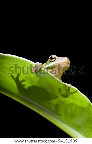 Little green tree frog sitting on a banana leaf