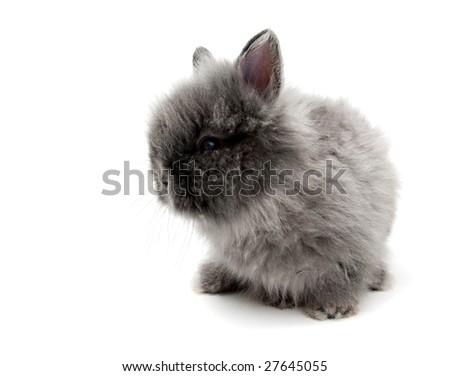 little grey Angora bunny isolated
