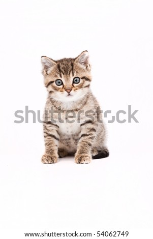 Little grey cat isolated on white
