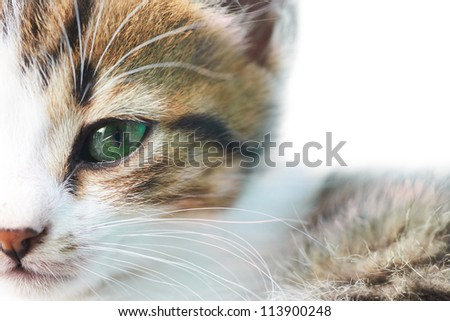 Little grey kitty cat with green eyes isolated on white