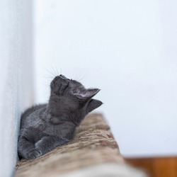 Little grey kitty resting and looking above, up