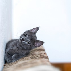 Little grey kitty resting and looking forward and up