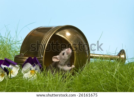 Little grey mouse checking the weather in a watering can