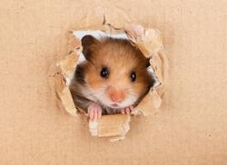 Little hamster looking up in cardboard side torn hole