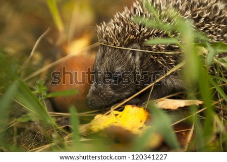 Little hedgehog in the forest. Check my portfolio for more beautiful nature photographs.