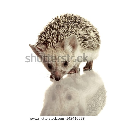little hedgehog isolate on white