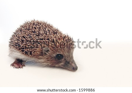 Little hedgehog, it seems he wants to ask you something :)   With large area for you text. - stock photo