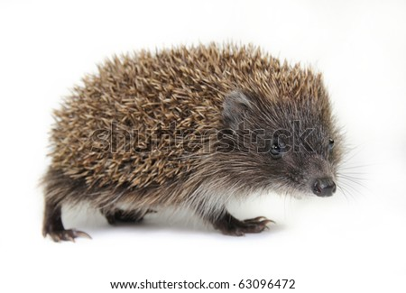 Little hedgehog on a white background