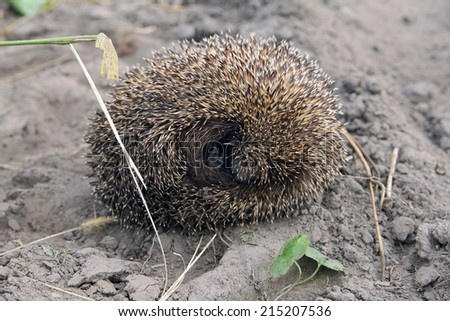 little hedgehog that curled a ball on the ground