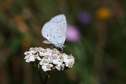 Little holly blue butterfly sits in a colorful flower meadow