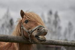 Little horse at small latvian zoo. Horse smile. Horse showing teeth, smiling horse, funny horses, funny animal face. laugh animal
