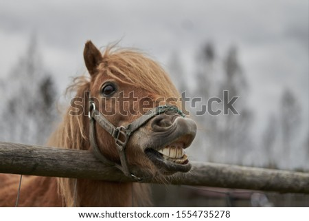 Little horse at small latvian zoo. Horse smile. Horse showing teeth, smiling horse, funny horses, funny animal face. laugh animal Stock photo ©