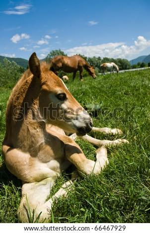 Little horse resting